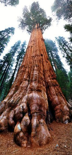 Panoramic Stitch General Sherman Tree at Sequoia National Park Travel world places pictures photos natures vacations adventure sea city town country animals beaty mounti. Sequoia National Park, General Sherman Tree, Weird Trees, Sequoia Sempervirens, Unique Trees, Old Trees, Big Tree, Nature Tree, Tree Forest