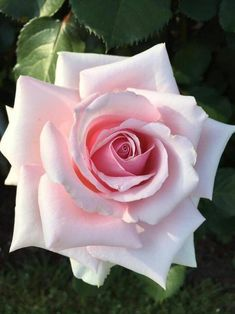 how far apart should hybrid tea roses be planted Beautiful Rose Flowers, Pretty Roses, My Flower, Beautiful Flowers, Purple Roses, Pink Flowers, Lavender Roses, Pale Pink, Foto Rose