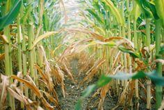 Corn fields ❤