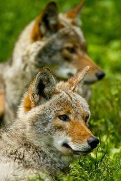 Gorgeous Coyotes!