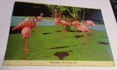 Flamingos Postcard San Diego Zoo California Birds Vintage Unposted