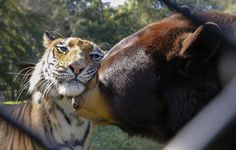 Baloo (R), a North American Black Bear, rubs snouts with his companion Shere Hkhan, a Bengal tiger, inside their shared enclosure at Noah's Ark animal sanctuary in Locust Grove, Georgia, USA, 28 August 2014. According to the facility, the pair and a lion named Leo, were confiscated at a young age from a drug dealer's basement in Atlanta, Georgia. Noah's Ark cares for about 100 different species of animals on a 250 acre farm since 1990. (Photo by Erik S. Lesser/EPA)