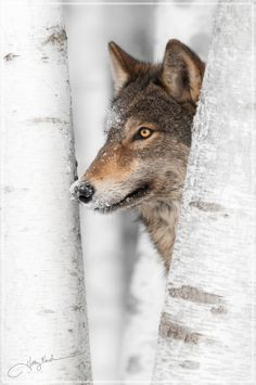 500px / Who's Afraid? by Holly Kuchera Gray Wolf amidst birch trees