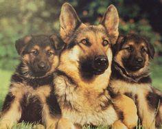 German Shephard family