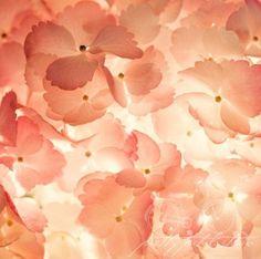 Floral Fine Art Photograph, Pink Hydrangea Flowers, Macro Photo, Shabby Chic Art, PrettyPetalStudio via Etsy All in good time Art Et Illustration, Illustrations, Hydrangea Flower, Flower Petals, The Cardigans, Shabby Chic Art, Shades Of Peach, Orange Aesthetic, Just Peachy