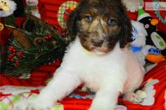 You'll love this Female Labradoodle puppy looking for a new home.