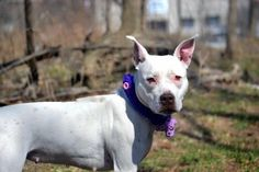TO BE DESTROYED- 04/16/2015 - JADA- A1032138 - STATEN ISLAND, NY -   A volunteer writes: When I first met Jada the first thing i noticed is how petite she is and what a beautiful white coat she has, she is simply adorable!!! Jada solicits my attention as soon as I walk into the adoption room. Once out of her kennel shes so wiggly and playful I thought she was a puppy. Jada takes care of her business and was just so happy to be outside on such a lovely day. She is smiling fr