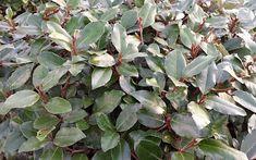 7 mooiste Haagplanten - KleineTuinen.nl Prunus, Robin, House, Products, Compact, Home, Peach, European Robin, Robins