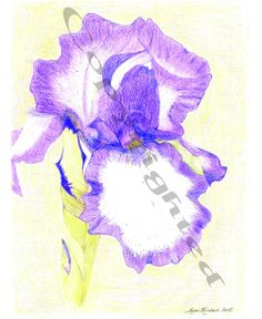 Iris Colored Pencil Drawing by RoxenneKendall on Etsy