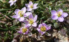 Spergulaire marine Spergularia marina, fleurs sauvages des côtes bretonnes, Brittany coasts wild flowers, Bretagne Château du Taureau baie d...