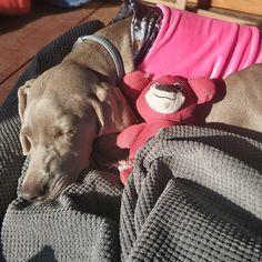 Weimaraner sleeping in PimpouPet velvet blouse. Dog Wear, Pink Dog, Dog Hoodie, Weimaraner, Sleeping Beauty, Velvet, Comfy, Hoodies, Gallery
