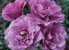 Star® Roses and Plants - Angel Face