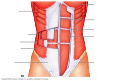 torso muscles unlabeled diagram - Google Search
