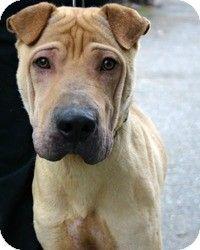 Marina del Rey, CA - Shar Pei. Meet Drake, a dog for adoption. http://www.adoptapet.com/pet/10164982-marina-del-rey-california-shar-pei