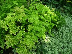 - A tropical fern which is grown only in areas that receive lttle or no freezing weather. Provide a fertile, well drained soil with a generous amount of humus incorporated into the planting mix. Maidenhair Fern, Centennial Park, Fern Plant, Types Of Plants, Park City, View Image, Fertility, Ferns, Botanical Gardens