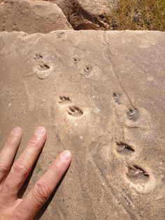 Trace fossil footprints enshrined in Permian Coconino Sandstone, Jackass Creek, Grand Canyon.