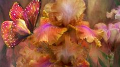 bearded iris and butterfly