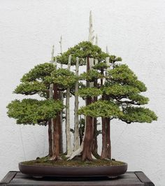 """Goshin""=""Spirit guardian"" - Yoshio Naka bonsai master - Juniperus foemina bonsai"