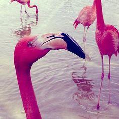 pink flamingos #birds