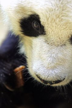 #panda #bear #black #white #animal