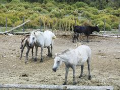 Bulls and horses in Camargue, France stock photo 76760093 - iStock