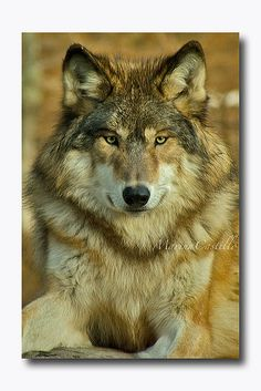 Wolves of Ely, Minnesota International Wolf Center by Marina Castillo - SAVE THE WOLVES