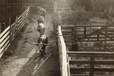 Longhorn Cattle Drive at the Stockyards in Fort Worth, Texas #cattle #texas
