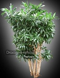 House plants picture and photo gallery from Dracaena to Epipremnum - Tropical plants and indoor plants Cat Safe Plants, Plant Pictures, Tropical Plants, Indoor Plants, House Plants, Ps, Photo Galleries, Herbs, Gallery