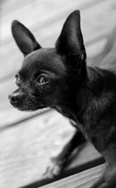 Chihuahua Looking UP 2 Signed black and white by cheeseandbean, $10.00