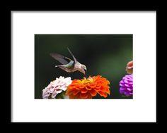 Hummingbird In Flight With Orange Zinnia Flower Framed Print By Christina Rollo