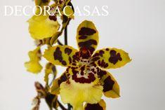 Três dicas simples para cuidar de orquídeas e ter a casa florida durante todo o ano. Confira como é fácil com a explicação dada por Flávia Ferrari