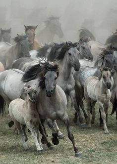 by Karen van Gerner A group of wild horses galloping right in my direction. Location: Germany, Dülmen (i love this picture! All The Pretty Horses, Beautiful Horses, Animals Beautiful, Horse Photos, Horse Pictures, Animals And Pets, Cute Animals, Majestic Horse, Wild Mustangs