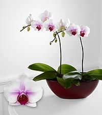 Orchid Flower Delivery: Order & Send Orchids to Their Door Phalaenopsis Orchid, Orchid Plants, Center Table, Blooming Flowers, Flower Delivery, Love And Light, Houseplants, Indoor Plants, Shrubs