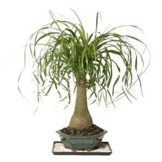 Ponytail Palm! We just bought one for the house!