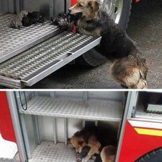 Rescued al of her puppies from a house fire and delivered them to the step of the fire truck<3