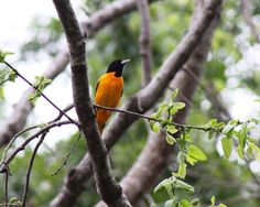 Baltimore orioles migrate through Tara in mid to late April.