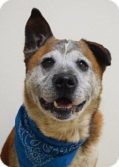 Dublin, CA - Akita/Australian Cattle Dog Mix. Meet Dax, a dog for adoption. http://www.adoptapet.com/pet/13431225-dublin-california-akita-mix