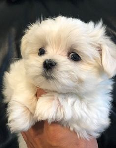 Cute Baby Dogs, Cute Little Puppies, Cute Dogs And Puppies, Cute Baby Animals, Baby Puppies, Maltese Dog For Sale, Maltese Dogs, Baby Maltese, Maltipoo Puppies For Sale