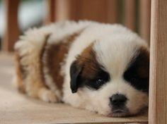 Saint Bernard Puppy for Sale