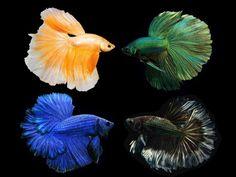 Assorted Betta Halfmoon Betta, Betta Fish, Discus Fish For Sale, Guppy, Angel Fish, Freshwater Fish, Tropical Fish, Fish Tank, Creatures