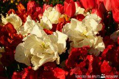 Woodburn Tulip Festival 2014 - Wooden Shoe Farm, Oregon.