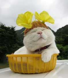 Shiro loves small baskets the way Maru loves boxes. And 9-year-old Shiro has a patient zen attitude for wearing hats and other materials on his head, which leads to many photo and video opportunities.