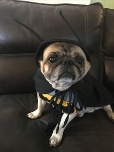 Twinkie the Bat Pug