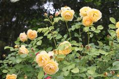 Fragrant Rose Garden