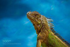 Green Iguana - A Green iguana sun bathing by the pool in Tamarindo Costa Rica