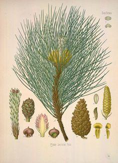 Pinus laricio | pin lariccio  | Köhler's Medizinal-Pflanzen in naturgetreuen Abbildungen mit kurz erläuterndem Texte :. Gera-Untermhaus :Fr. Eugen Köhler,[1883-1914]. biodiversitylibrary.org/page/303260