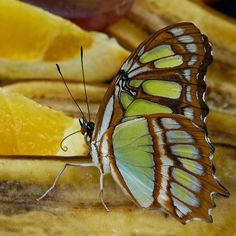 Malachite Butterfly | Flickr - Photo Sharing!