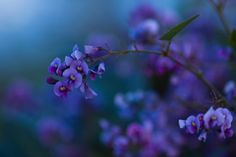 lilac flowers :)