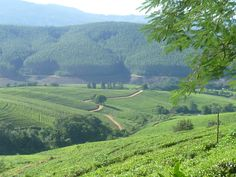 Pekoe Tea Plantation, Magoebaskloof (owned by the local black African community) Visual Development, Modern House Plans, The Locals, South Africa, Vineyard, Golf Courses, African, Community, Landscape