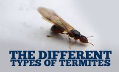 Different types of termites are found all over the world. They have different rates of destruction and often different patterns of destructive behavior. All termites live in colonies and serve their nest's greater good. You can count on some types destroying a home in just a few months while others eat at a slower rate and give you a few years before the damage is overwhelming.